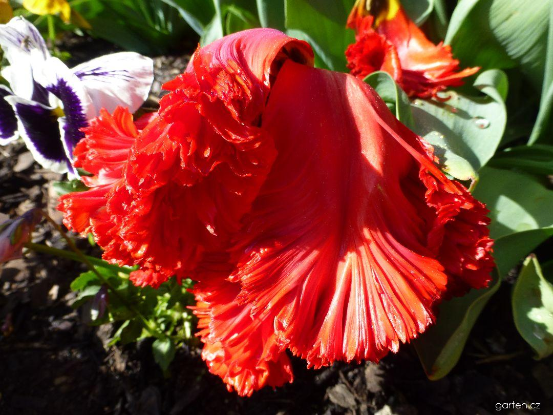 Tulipán Exotic Parrot - květ (Tulipa x hybrida)