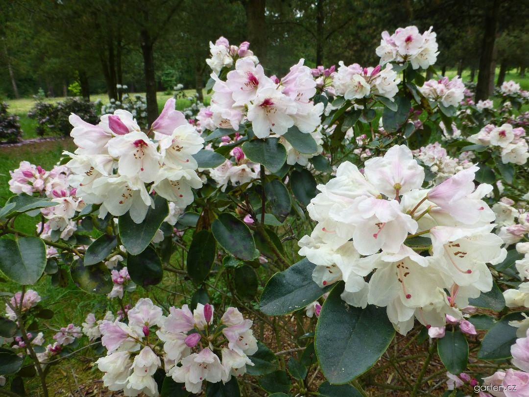 Pěnišník Ann Soli (Rhododendron)