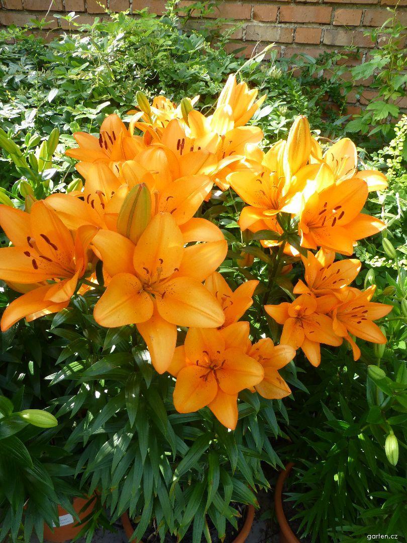 Lilie Orange Tycoon - LA hybridy (Lilium x hybridum)