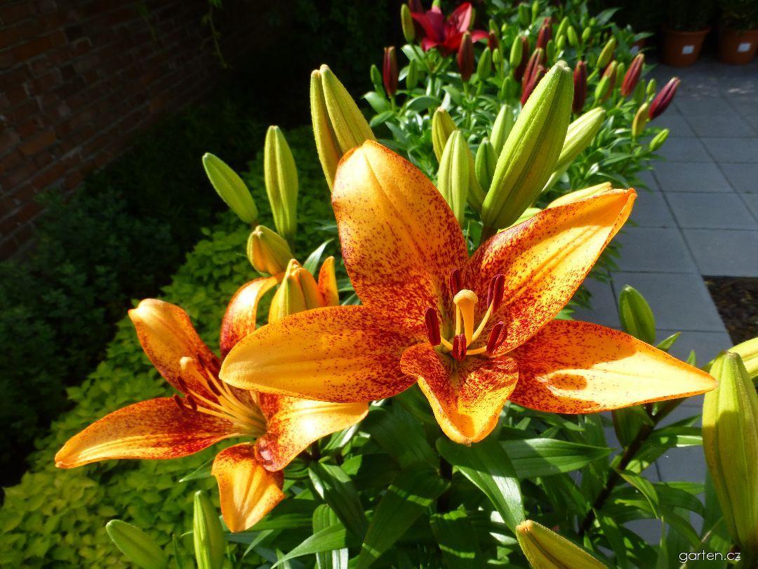 Lilie Long Wood - LA hybridy (Lilium x hybridum)