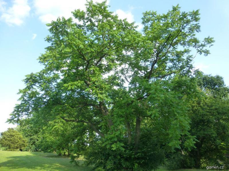 Ořešák popelavý - habitus (Juglans cinerea)