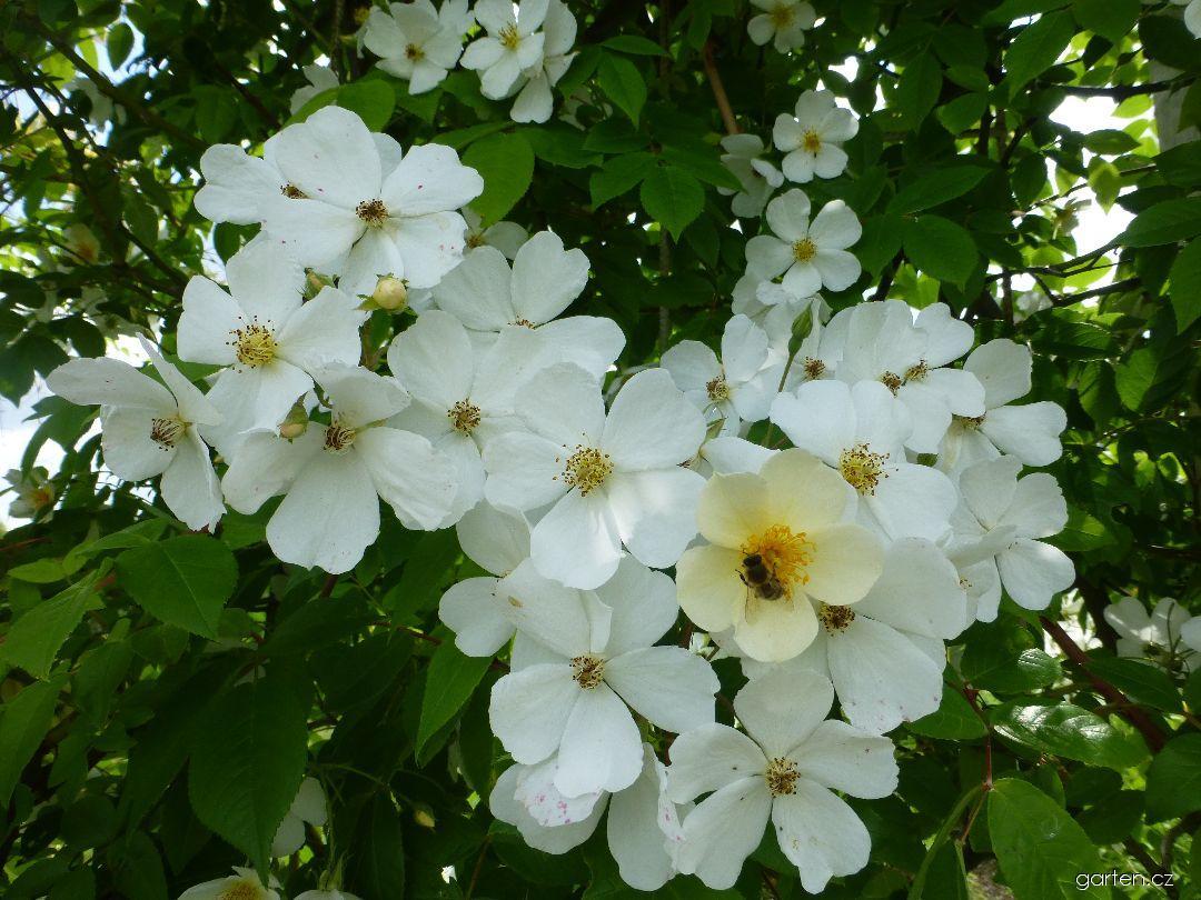 Růže Filipes Kiftsgate (Rosa)