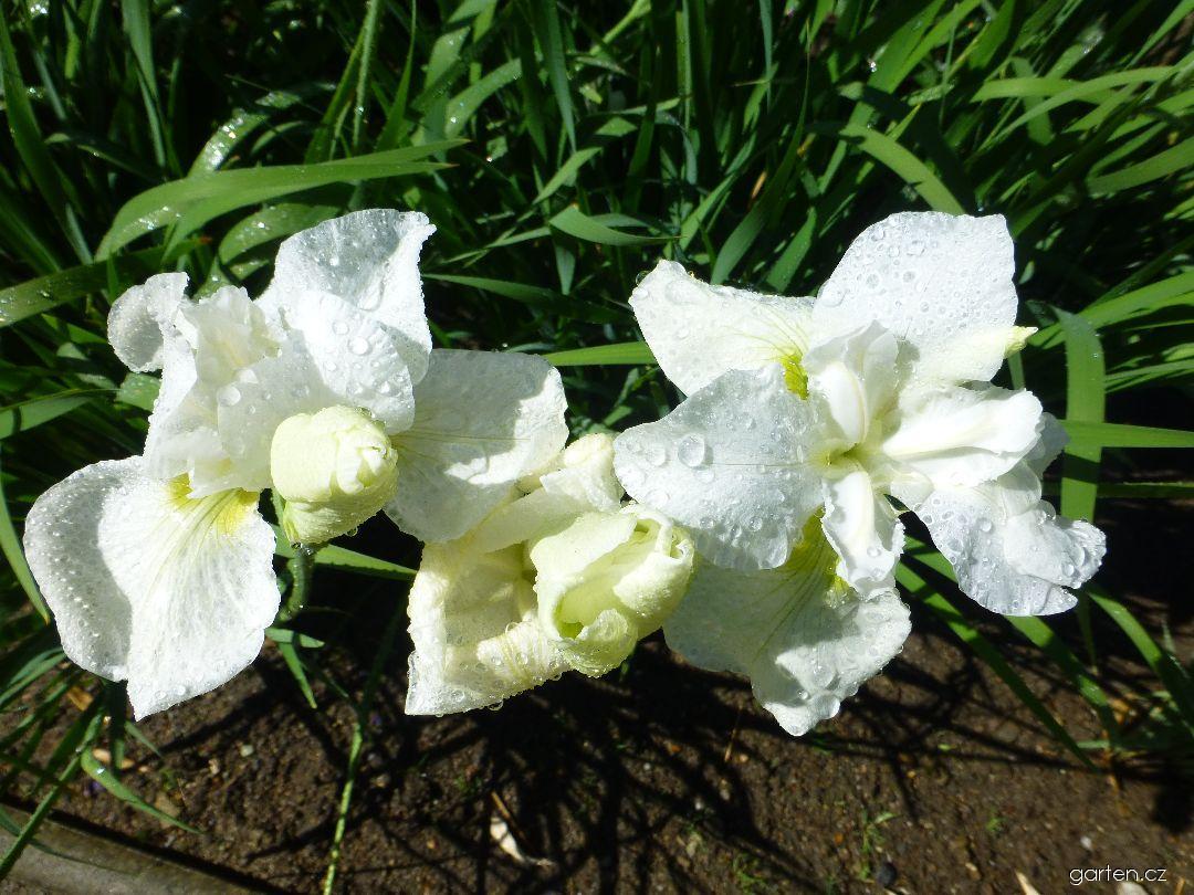 Kosatec sibiřský White Horses (Iris sibirica)