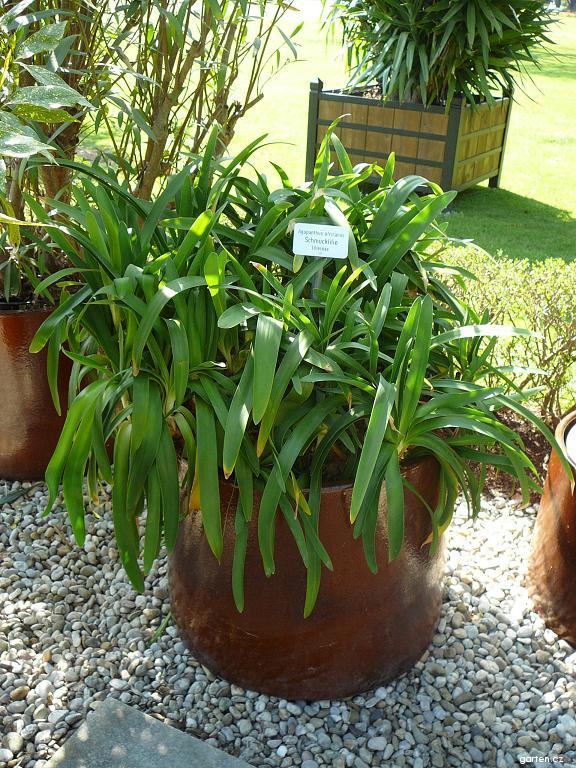 Kalokvět (Agapanthus africanus)