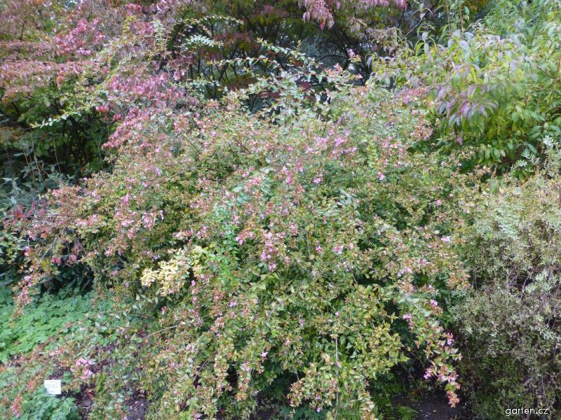 Abélie velkokvětá Edward Goucher (Abelia x grandiflora)