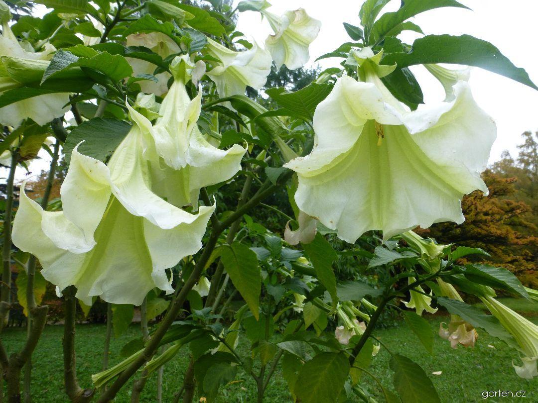 Durman Rosa Traum - větévka s květy (Brugmansia suaveolens)
