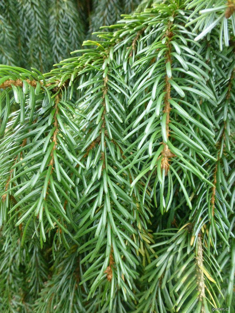 Smrk omorika - větévka s jehlicemi (Picea omorika Pendula)