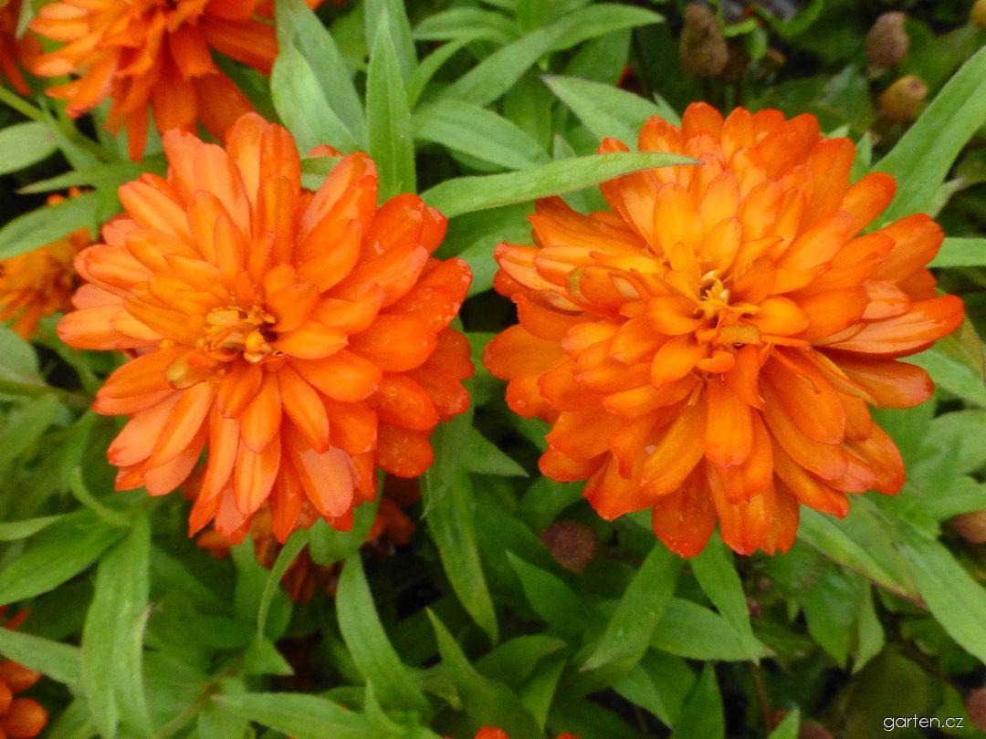 Aksamitník vzpřímený Orange Lady - květy (Tagetes erecta)