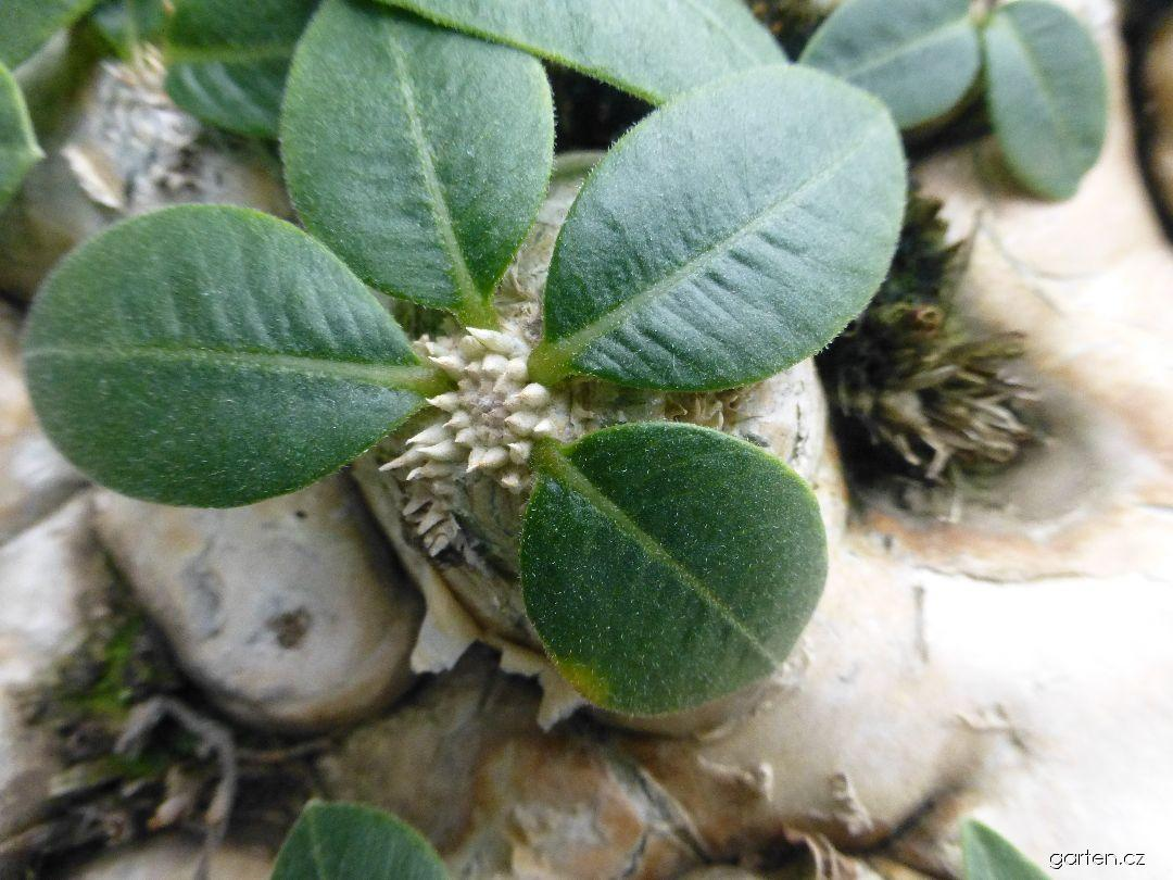 Pachypodium (Pachypodium brevicaule)