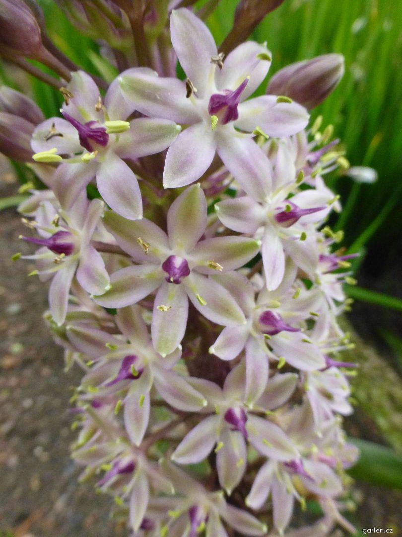 Chocholatice chocholatá Sparkling Burgundy - květ (Eucomis comosa)