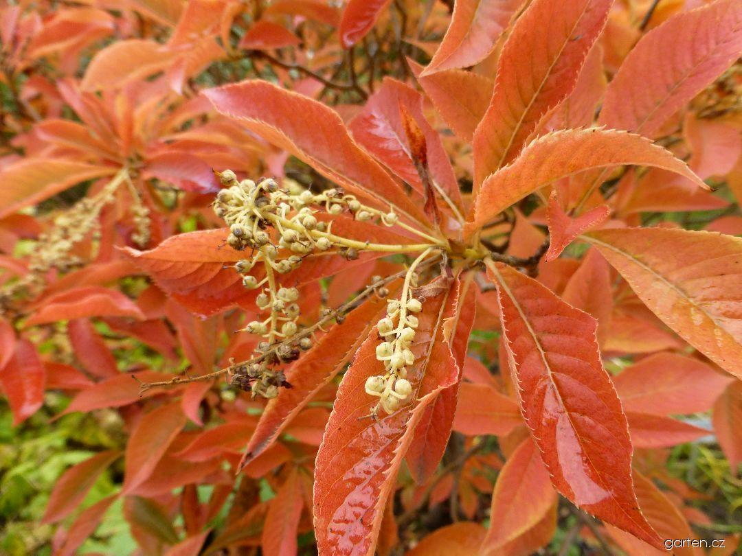 Jochovec chlupatožilný - větévka s podzimními listy a plody (Clethra barbinervis)
