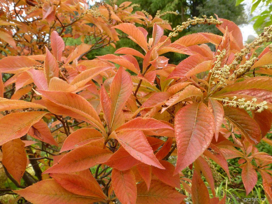 Jochovec chlupatožilný - podzimní zbarvení (Clethra barbinervis)