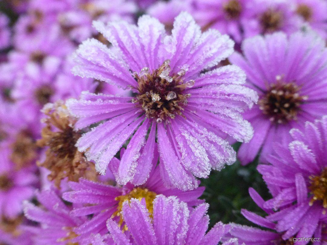 Hvězdnice křovitá Rosemarie Sallmann - jinovatka na květech (Aster dumosus)