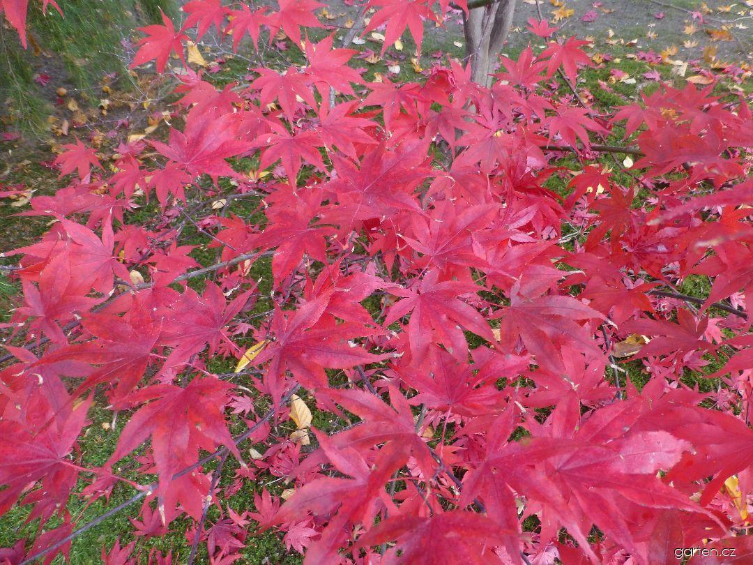 Javor dlanitolistý Bloodgood - podzimní zbarvení (Acer palmatum)