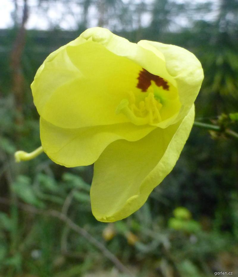 Bauhinie plstnatá - květ (Bauhinia tomentosa)