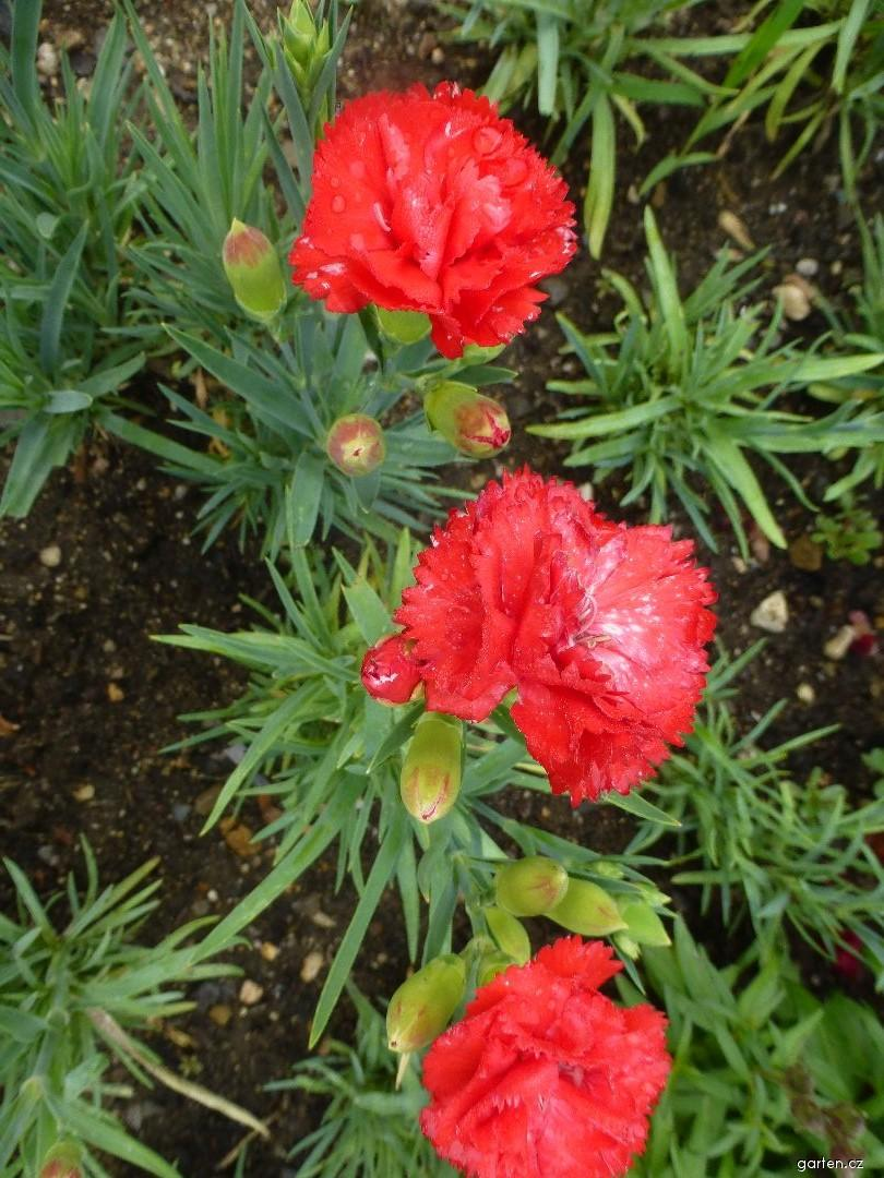 Karafiát zahradní Can Can Scarlet (Dianthus caryophyllus)