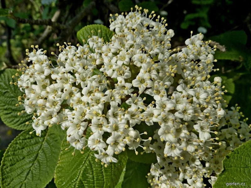Kalina tušalaj - květ (Viburnum lantana)