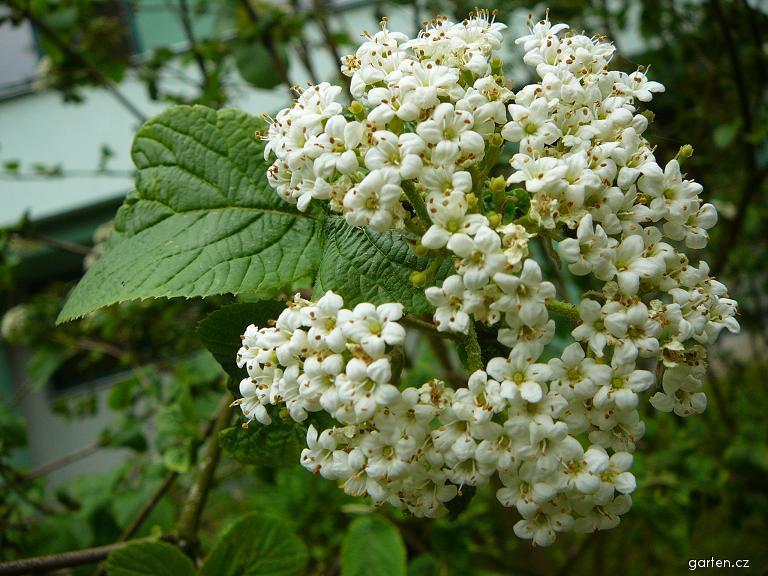 Kalina tušalaj - detail květ (Viburnum lantana)