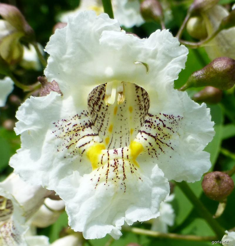 Katalpa trubačovitá - květ (Catalpa bignonioides)