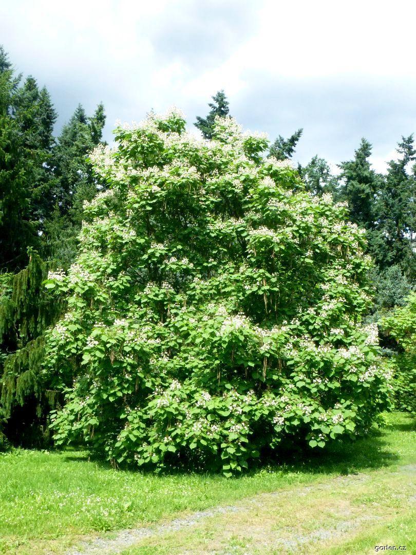 Katalpa trubačovitá - habitus v květu (Catalpa bignonioides)
