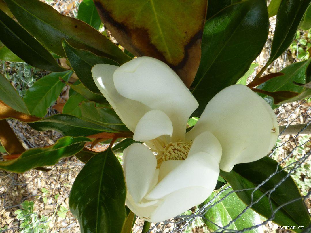Šácholan velkokvětý Kay Parris (Magnolia grandiflora)