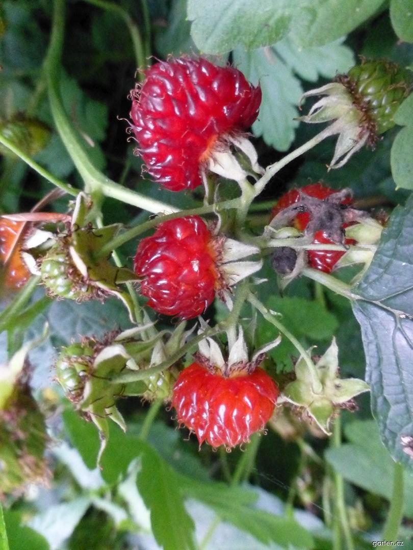 Ostružiník hloholistý (Rubus crataegifolius)
