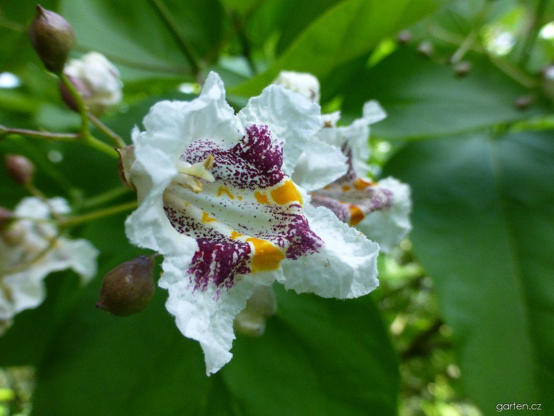 Katalpa trubačovitá Aurea (Catalpa bignonioides)