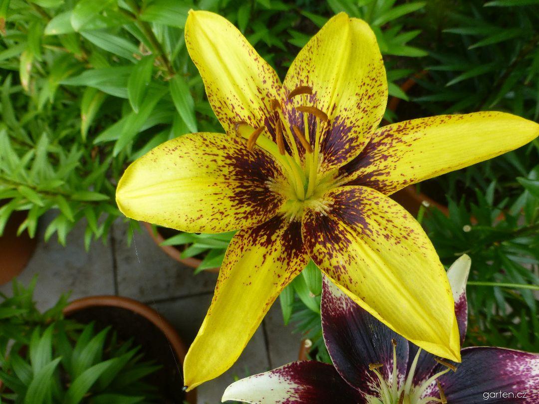 Lilie Yellow Pixels - Asijské hybridy nízké (Lilium x hybridum)