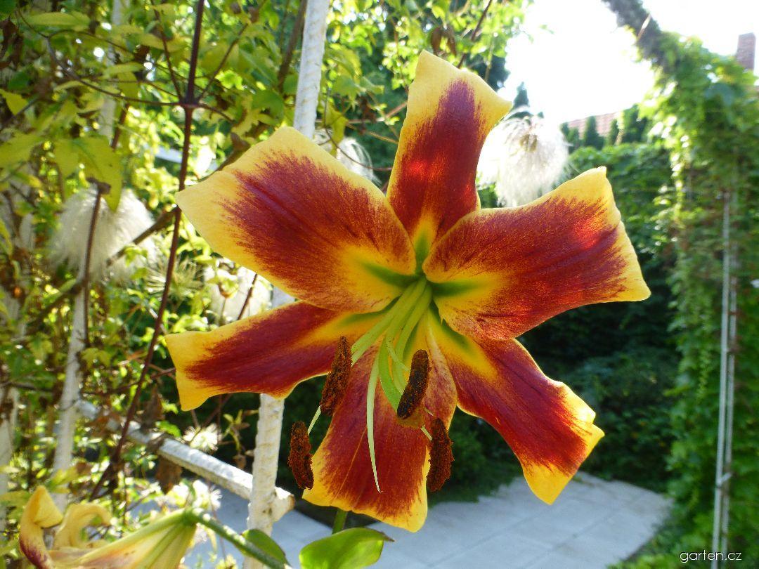 Lilie Robert Swanson - OT hybridy (Lilium x hybridum)