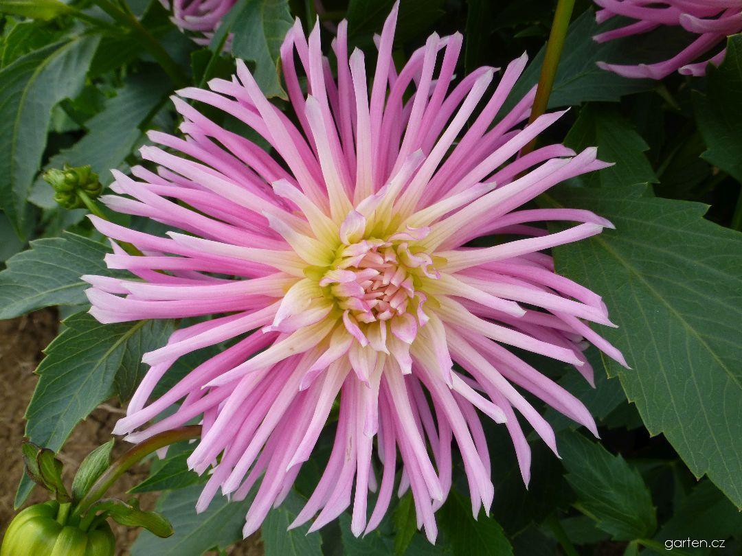 Jiřina Popelka - květ (Dahlia)