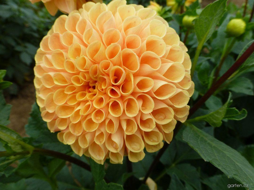 Jiřina Fuga - květ (Dahlia)