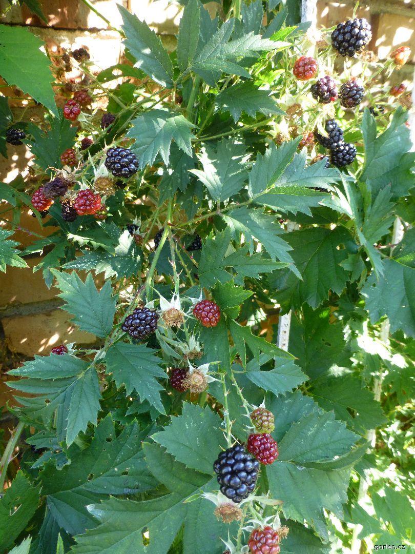 Ostružiník dřípený (Rubus laciniatus)