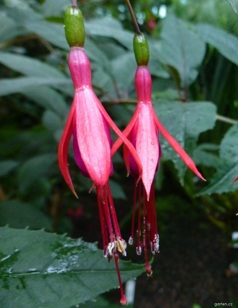 Fuchsie Hatschbachova - květ (Fuchsia hatschbachii)