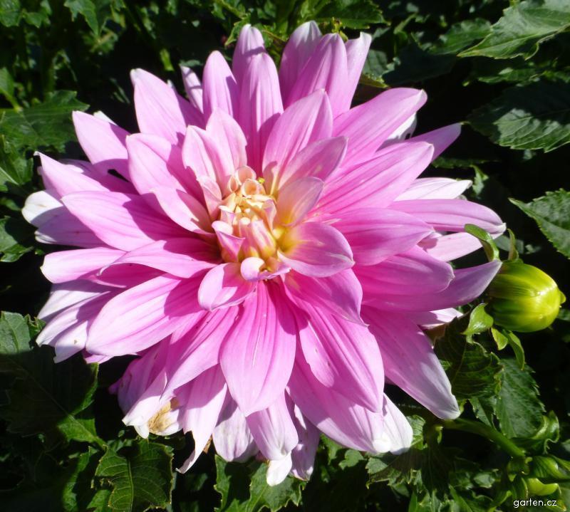 Jiřina Barunka - květ (Dahlia)