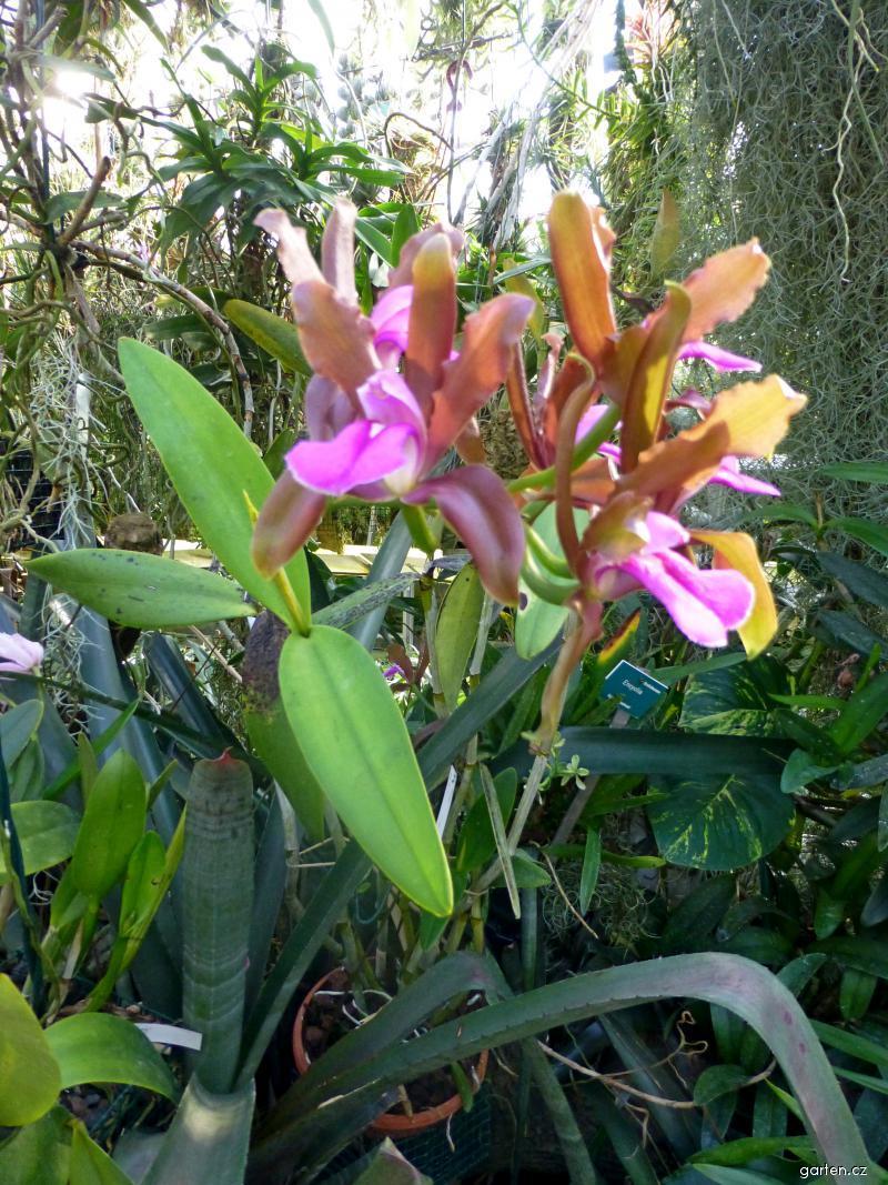 Katleja (Cattleya grossii)