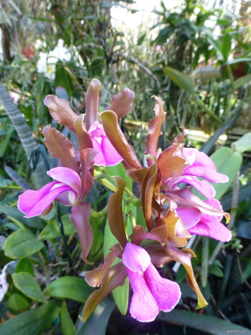 Katleja - květ (Cattleya grossii)