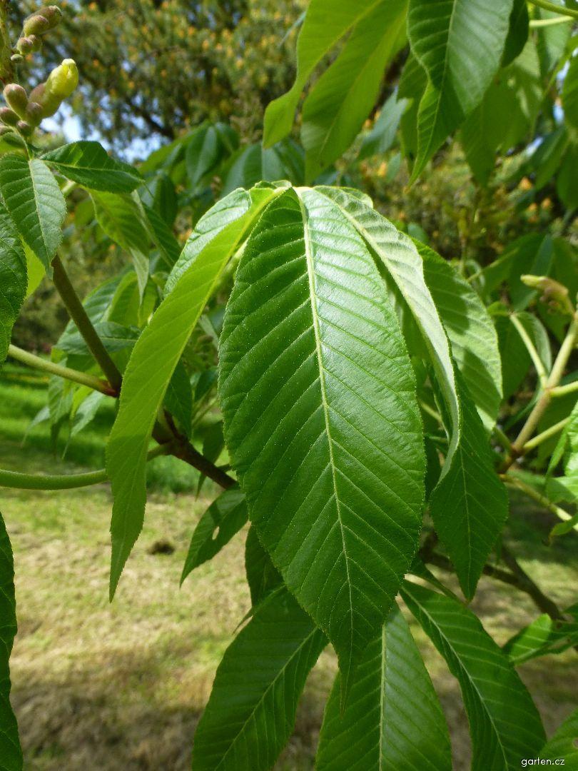 Jírovec proměnlivý Induta - mladý list (Aesculus mutabilis)
