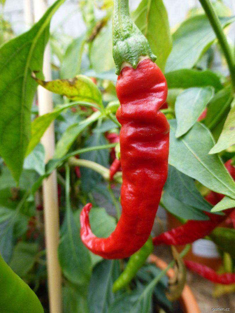 Paprika roční Italian Pepperoncini (Capsicum annuum)