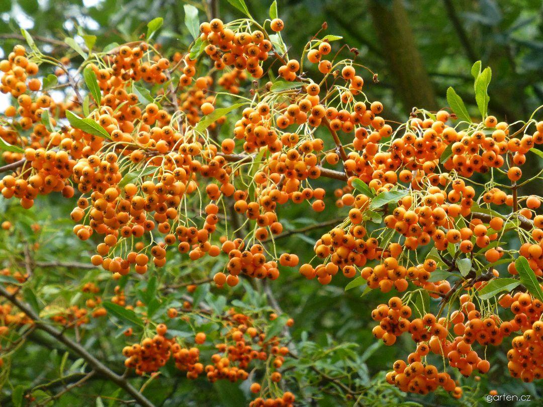 Hlohyně šarlatová Golden Charmer - větve s plody (Pyracantha coccinea)