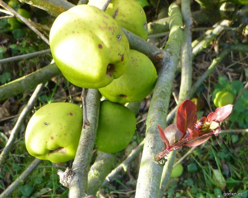Kdoulovec lahvicovitý - plody a nový list (Chaenomeles speciosa)