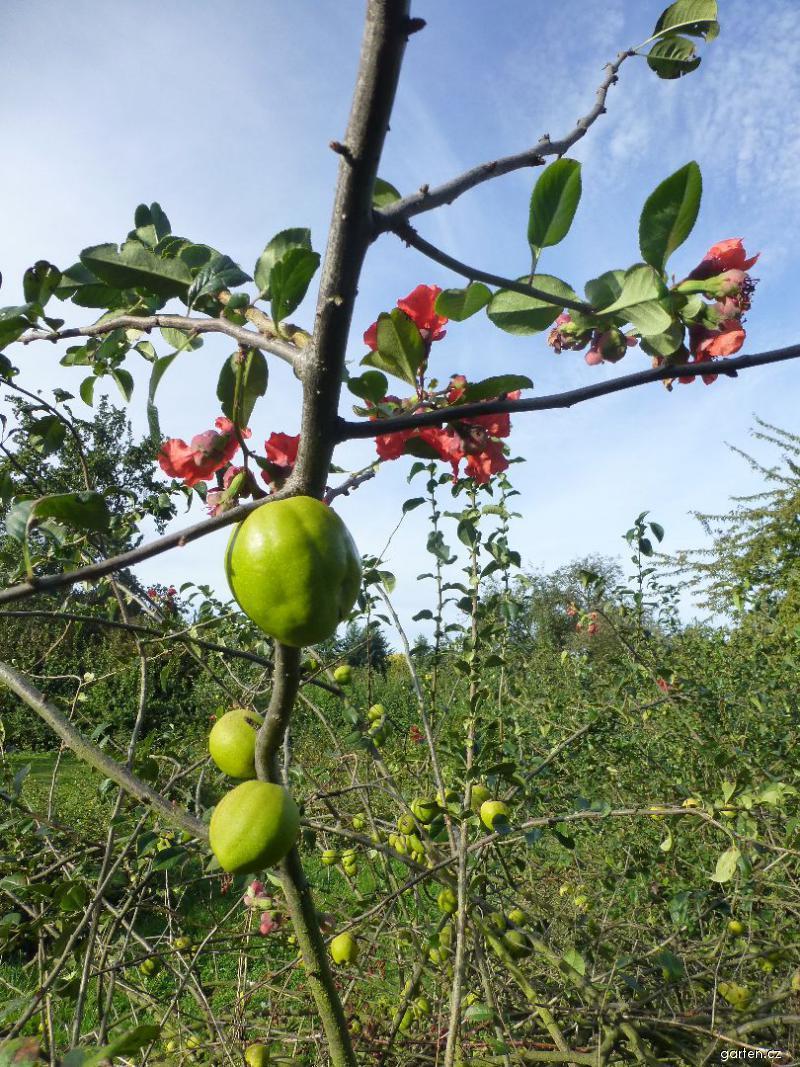 Kdoulovec lahvicovitý - větévka s květy a plody (Chaenomeles speciosa)