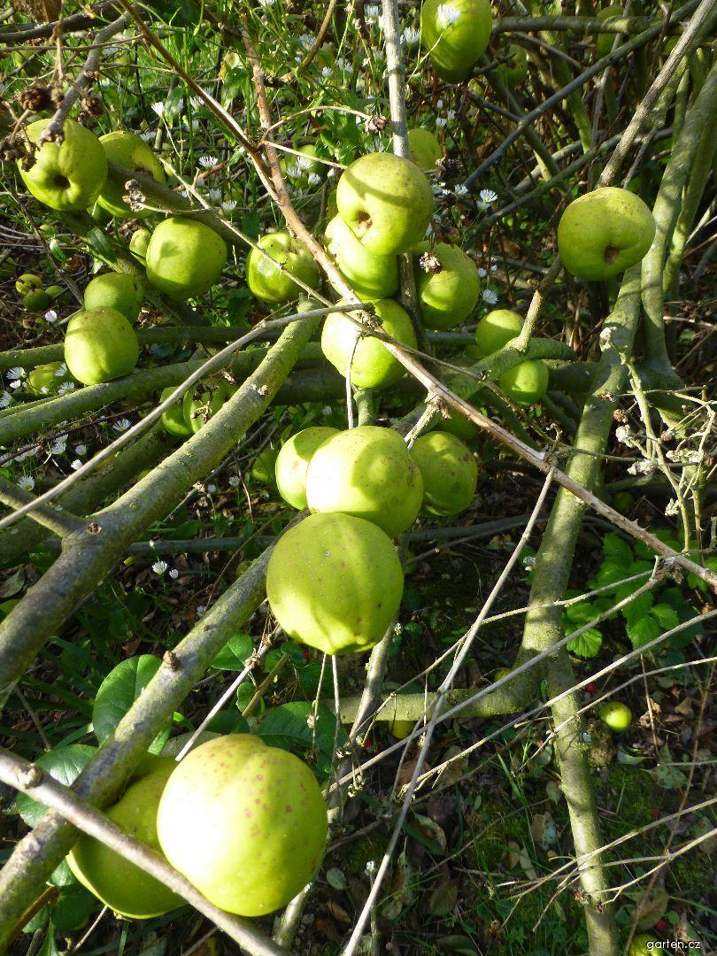 Kdoulovec lahvicovitý - větévka s plody (Chaenomeles speciosa)