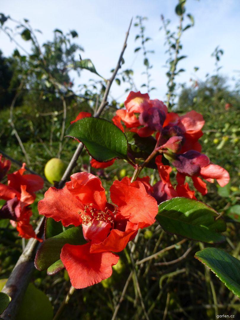 Kdoulovec lahvicovitý - větévka s podzimním květem (Chaenomeles speciosa)