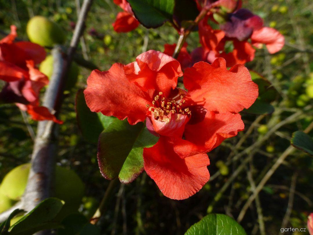 Kdoulovec lahvicovitý - podzimní květ (Chaenomeles speciosa)
