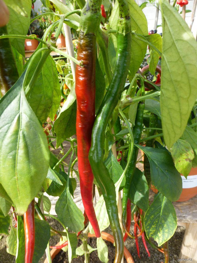 Paprika roční Joe s Long (Capsicum annuum)