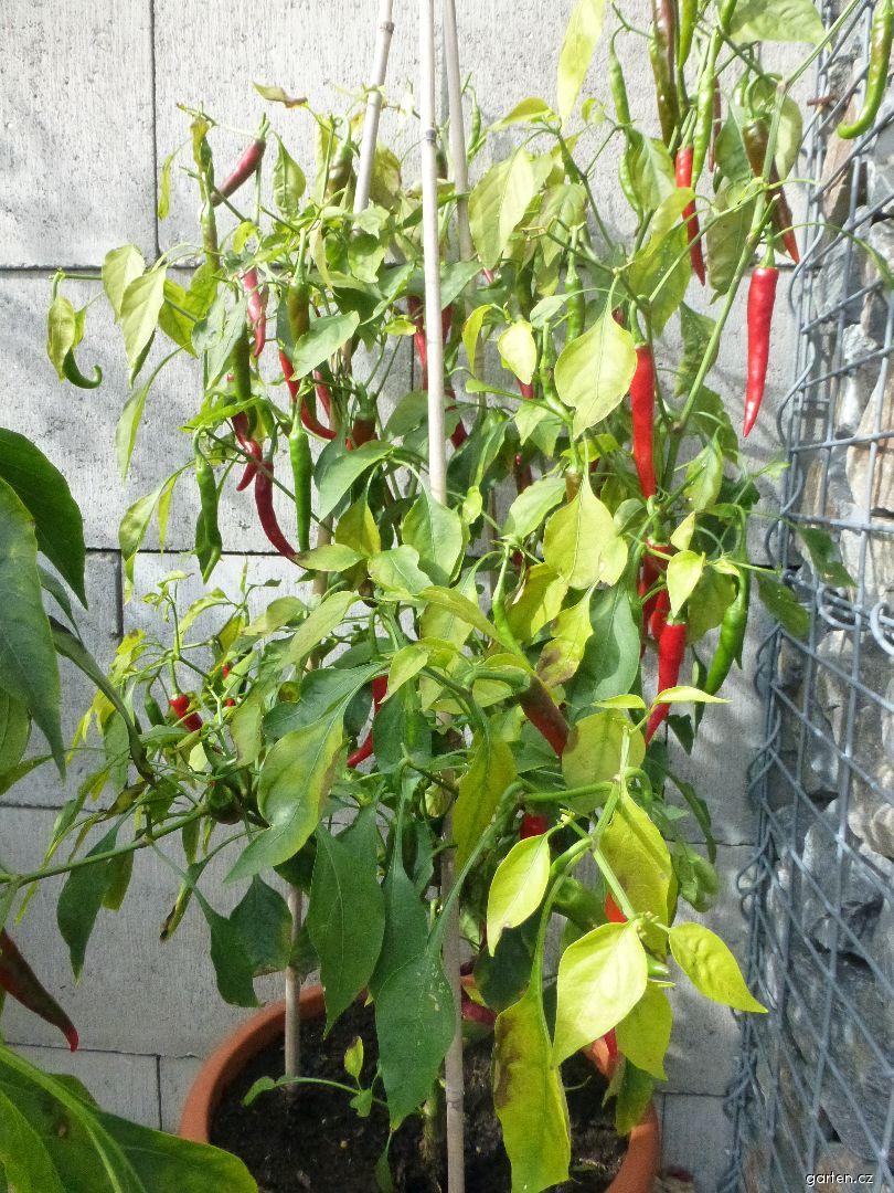 Paprika roční Ring of Fire (Capsicum annuum)