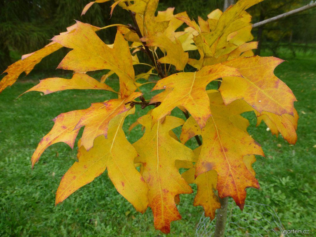 Dub - podzimní zbarvení (Quercus x fernaldii)
