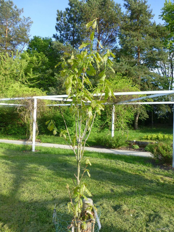 Dub Chimney Fire - habitus na jaře (Quercus x warei)