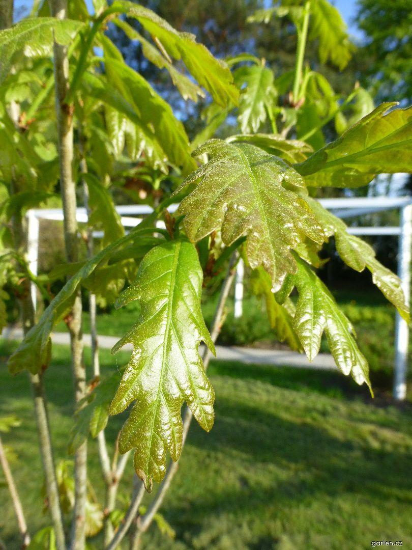 Dub Chimney Fire - větévka s mladými listy (Quercus x warei)