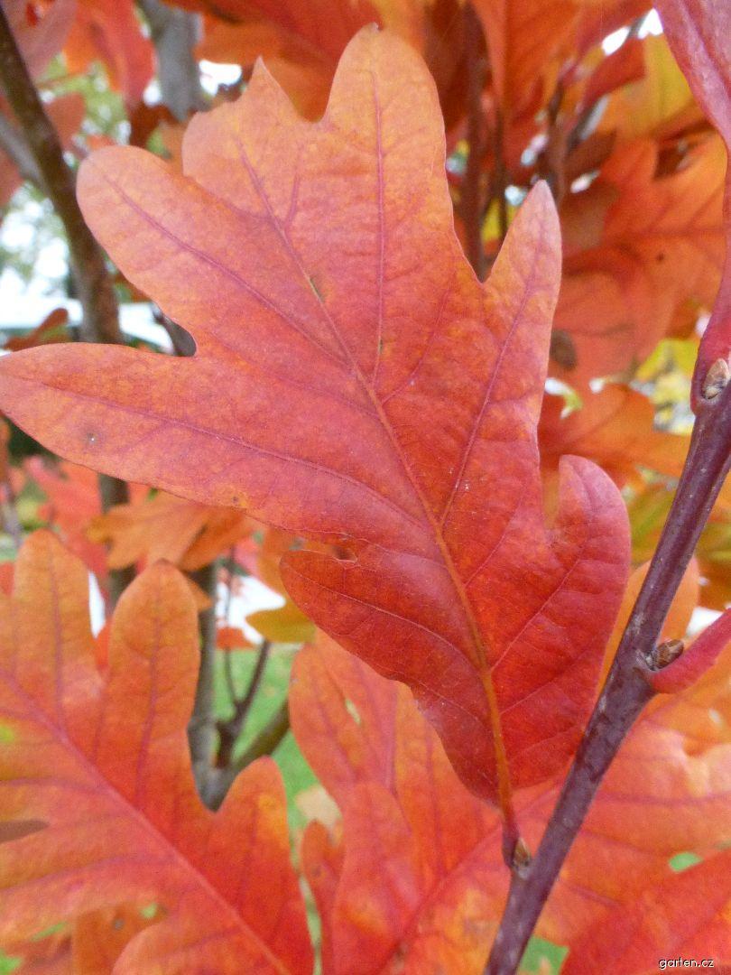 Dub Chimney Fire - podzimní list (Quercus x warei)
